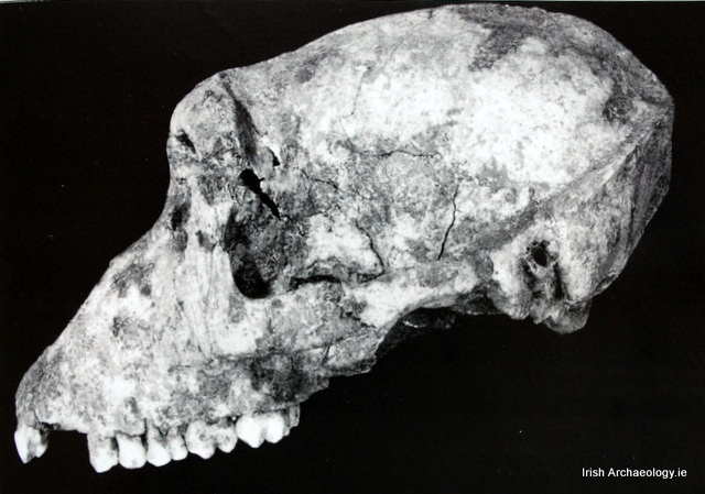 Barbary ape skull from Navan fort