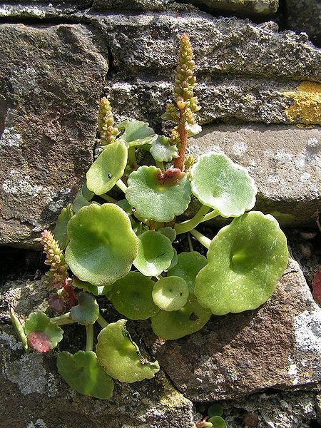 Wall penny wort