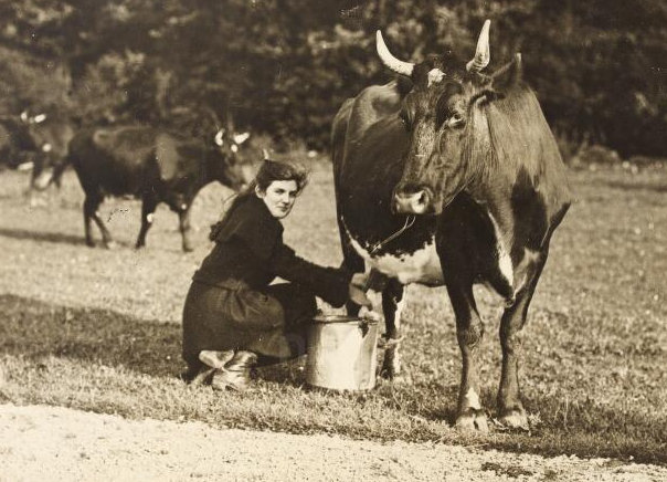 Cow ireland milking old photo