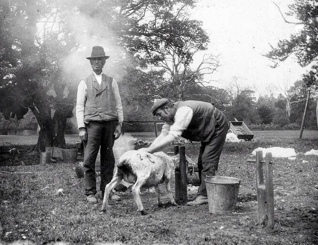 Sheep shearing (source)