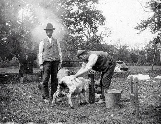 Sheep shearing (source)